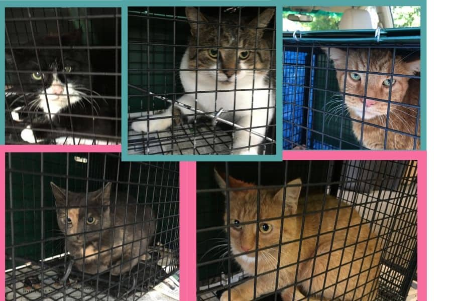 5 cats in feral cat traps