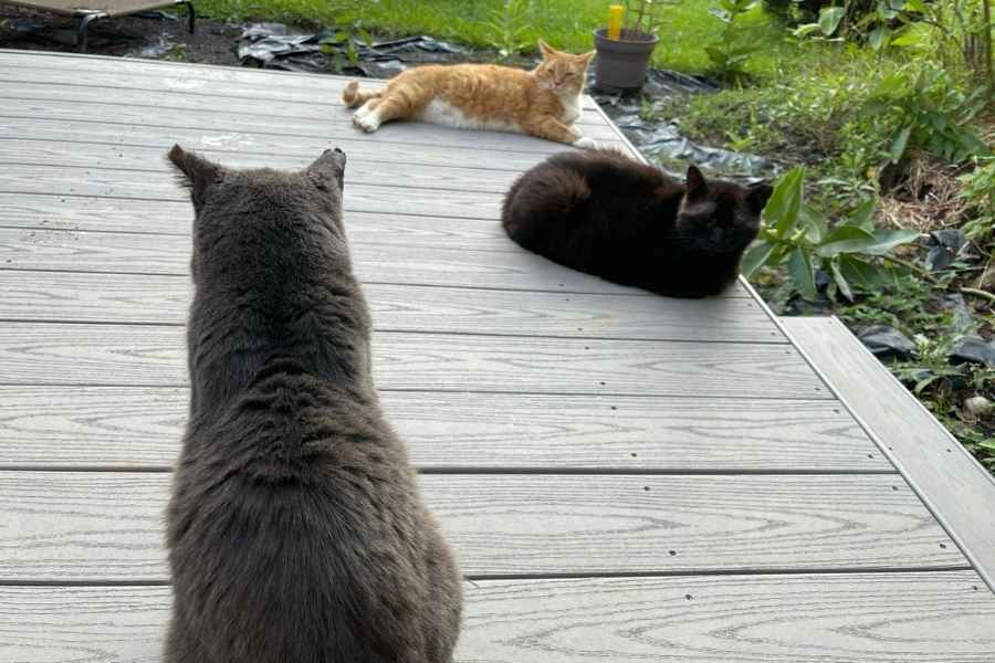 Three outdoor cats on a deck